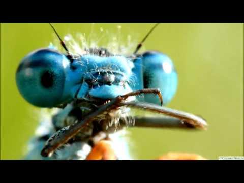Cute Damselflies in High Magnification Macro - Video (!)