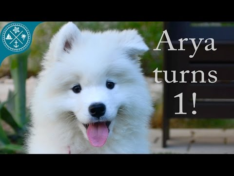 The cutest Samoyed puppy ever! Arya turns 1 year old!