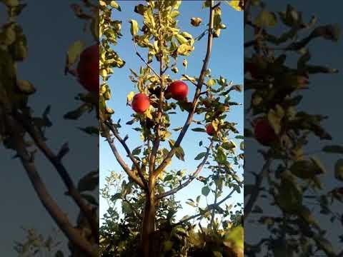 Сорт яблок Мантет.
