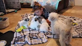 Coton de Tulear Puppies For Sale - Vivian 8/10/21