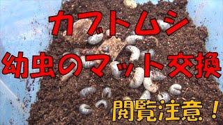 拾ったカブトムシ1匹から始まったのが、タマゴが孵化し、今では30匹...