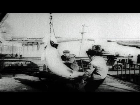 HD Stock Footage Annual Caviar Harvest From Russian Sturgeon 1957