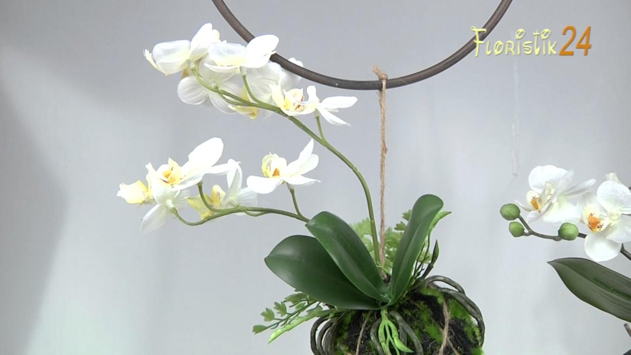 Floristik24 Orchidee Phalaenopsis Zum Hängen Creme