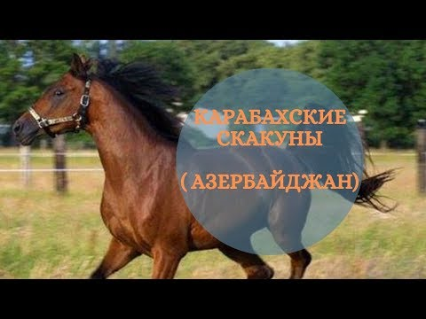 Карабахские скакуны. Азербайджан.