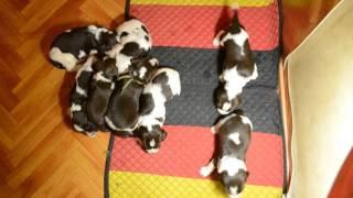 Английский спрингер спаниель Продаются щенки!
