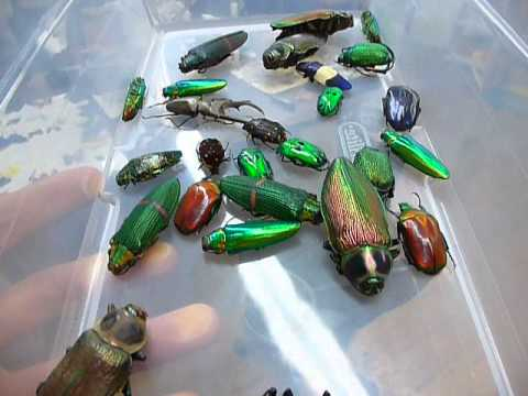 Amazing Jewel Beetles!
