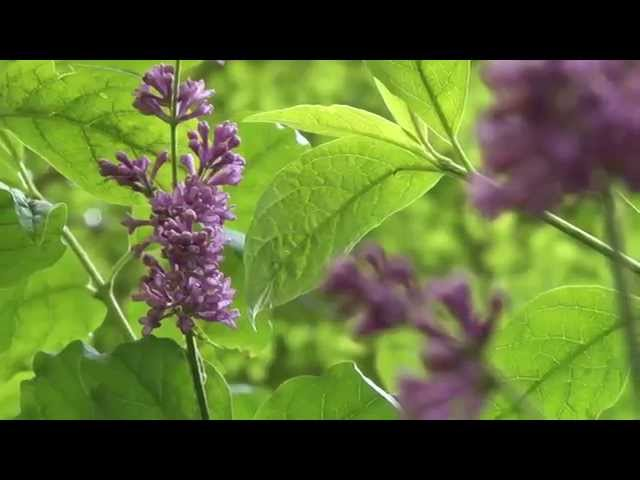 Liliacul carpatin (Syringa josikaea) - Perla Văii Iadului