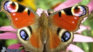 Mes Papillons - Butterfly in 4K - Nature - Ultra HD - Butterflies - 4K - WILDLIFE - Chill Music - 4K