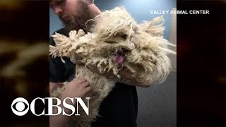 Neglected poodle gets a makeover
