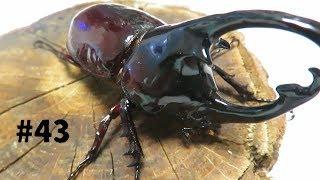 43 昆虫くじで当たった幼虫が成虫になった!【カブPのヘラクレス飼育日記】