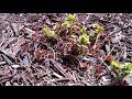 Spring preparing for 1st Crop Gardens of 2018(part 1)