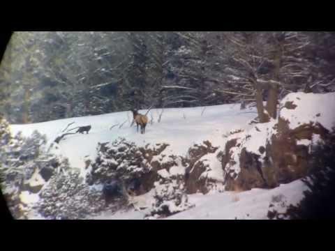 Yellowstone Wolf Elk Standoff