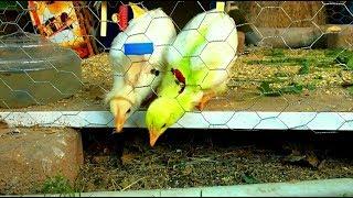 Цыплята Уход и кормление