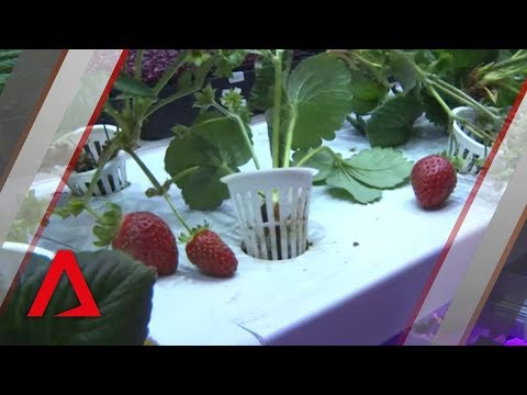 Locally grown strawberries in Singapore? It's now a reality