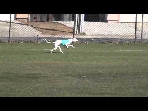ASFA Lure Coursing 2/13/11, Oakley, CA. Ibizan Hound stake finals.
