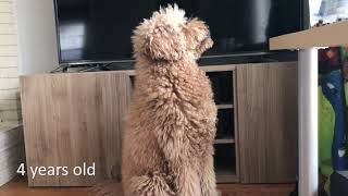 Labradoodle growing up  2 months to 6 years old