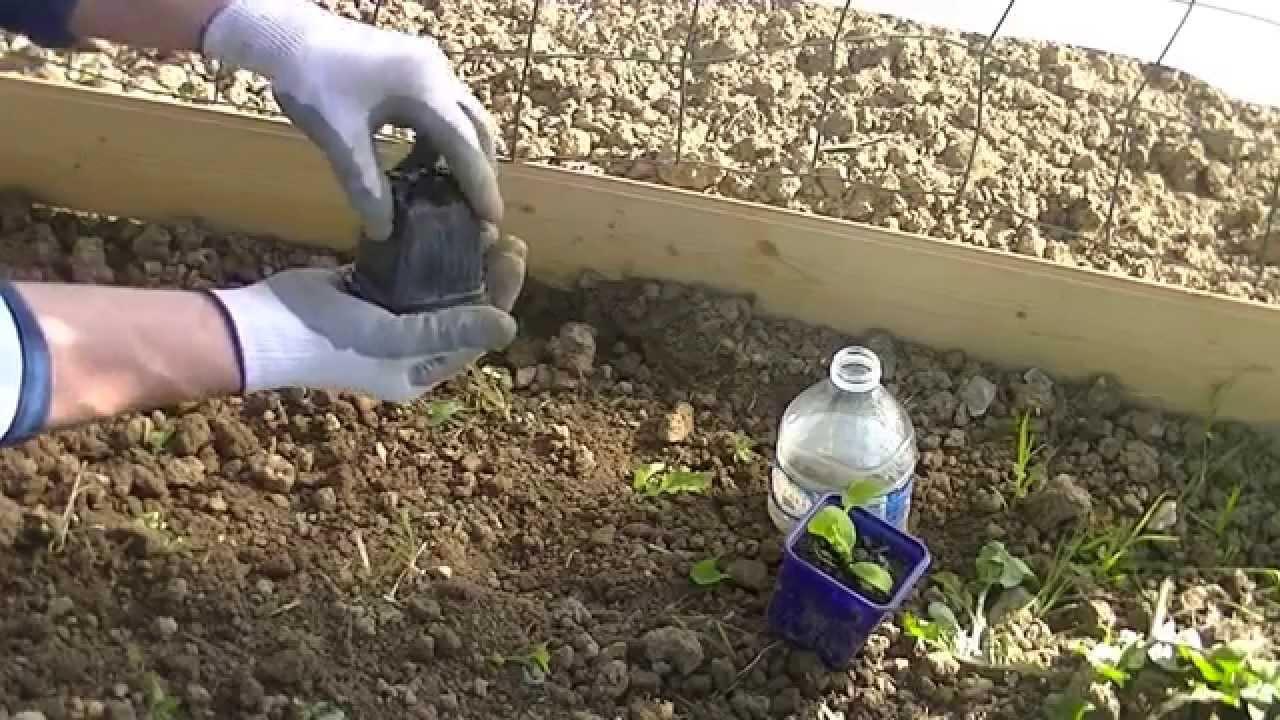 Quand et comment piquer des concombres technique simple for Plantation au jardin