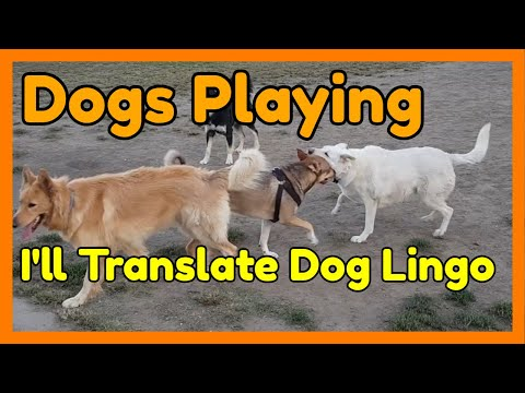 Dog Body Language 🐶 Dogs Playing