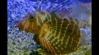 セトミノカサゴ Blackfoot firefish Parapterois heterura