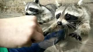 Süße Waschbären fressen aus der Hand