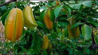Amazing Fruit Bearing Yard in Hawaii