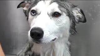 The WEIRDEST Husky dog ever