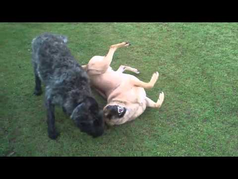 Our happy dogs playing!