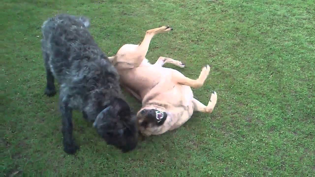 Our happy dogs playing! - YouTube - photo#43
