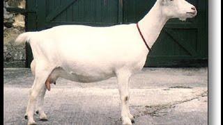 Мои зааненские козы (Беларусь, Борисов)