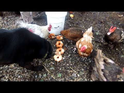 Chickens Eating Donuts Youtube