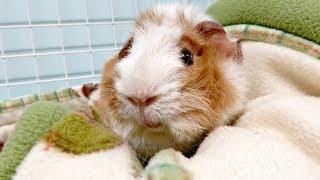 Nightly Pet Room Routine: 11 Guinea Pigs & 1 Rabbit