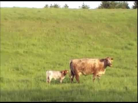Healthy Cow and Calf #1