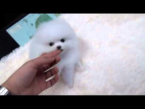 Teacup puppy for sale! Teacup white pomeranian Addel
