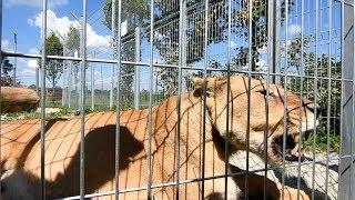 Zwierzęta niebezpieczne - Lygrys ,Ryś ,Karakal oraz  Lemur obżarciuch