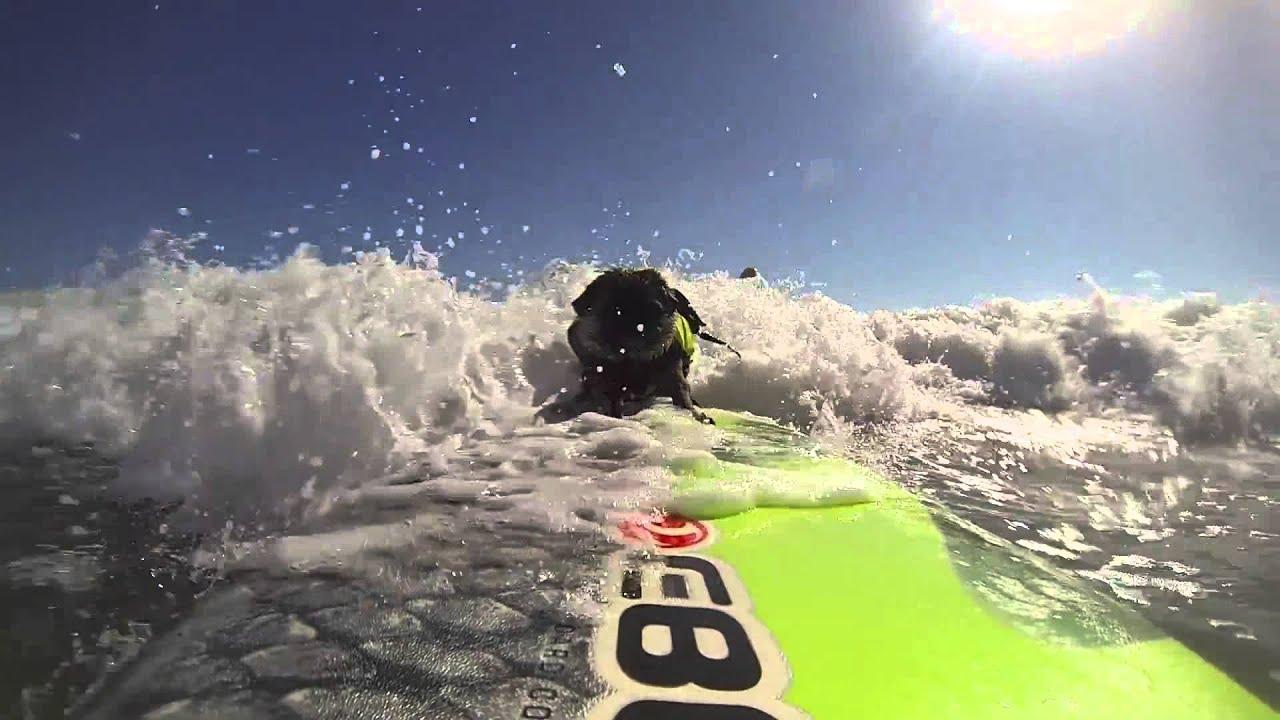 Brandy The Pug Surfing Del Mar And Huntington YouTube - Brandy the award winning surfing pug