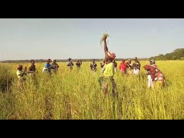 Iniciada la cosecha de arroz en Kanso