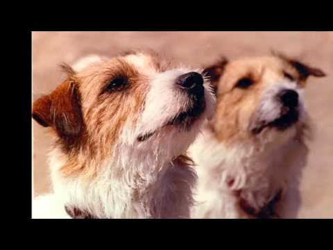 beautiful pictures of dog breeds Jack Russell Terrier