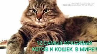 12 САМЫХ КРАСИВЫХ КОТОВ В МИРЕ!!!