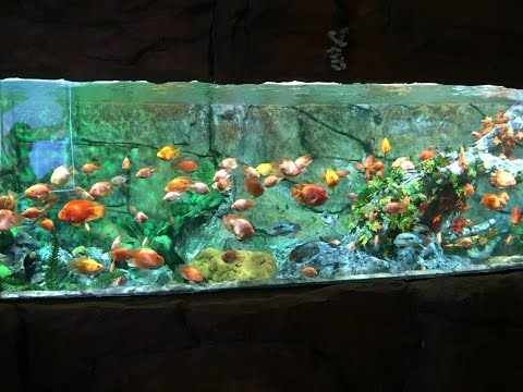 BIG RED PARROT CICHLID TANK – (in Full High Definiton)