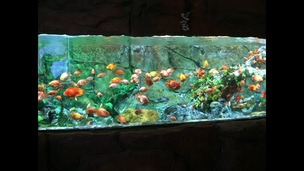 big red parrot cichlid tank in full high definiton youtube