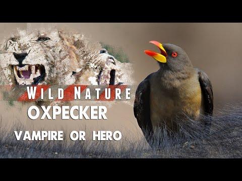 Oxpecker – Hero or Villain? | WILD NATURE