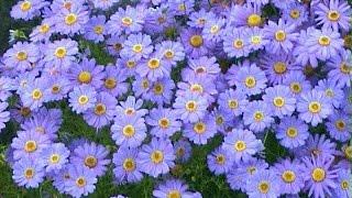 видео Брахикома: фото цветов, выращивание из семян, когда сажать, посадка и уход