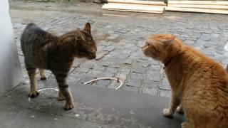 Ev Kedisi ile sokak kedisinin kavgası ( Kedi Kavgası )