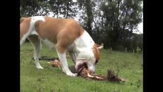 American Staffordshire Terrier, Amstaff , Hilda Kochające Oczy