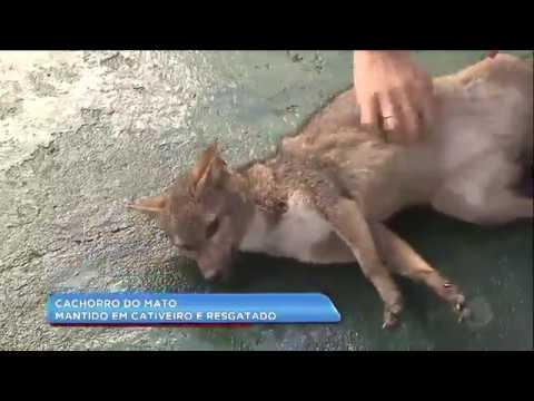 Cachorro Do Mato Mantido Em Cativeiro