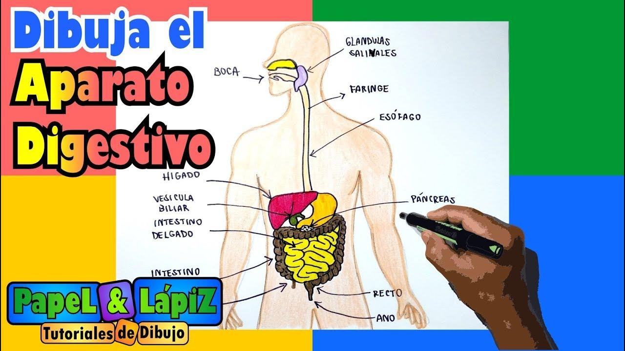 Aprende A Dibujar Y Pintar El Sistema Digestivo Youtube