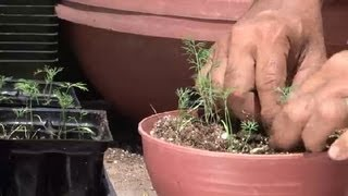 How to Pick & Transplant Dill : Herb Gardening