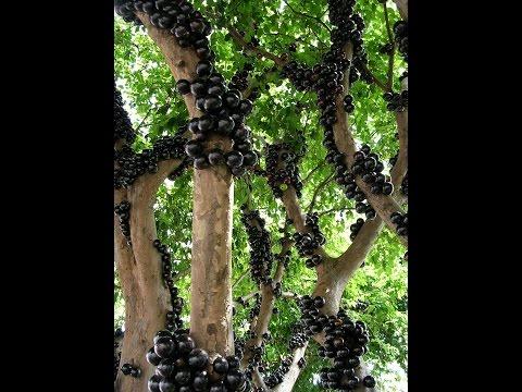 Вопрос: Виноград это кустарник или дерево?