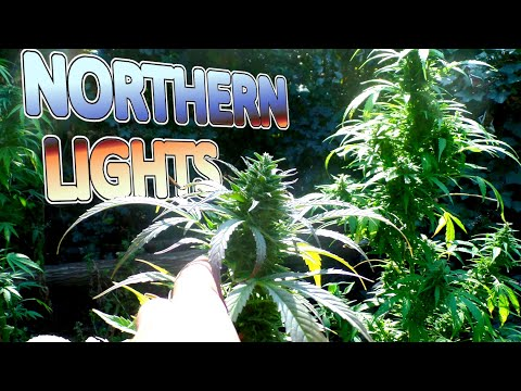 Northern Lights Automatic Outdoor Grow – From Seed to Harvest