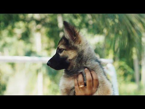 Sable German Shepherd Puppies For Sale In Kerala, India